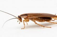Как вывести тараканов в домашних условиях?
